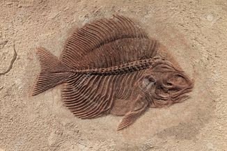 11891138-Fish-fossil--Stock-Photo-dinosaur